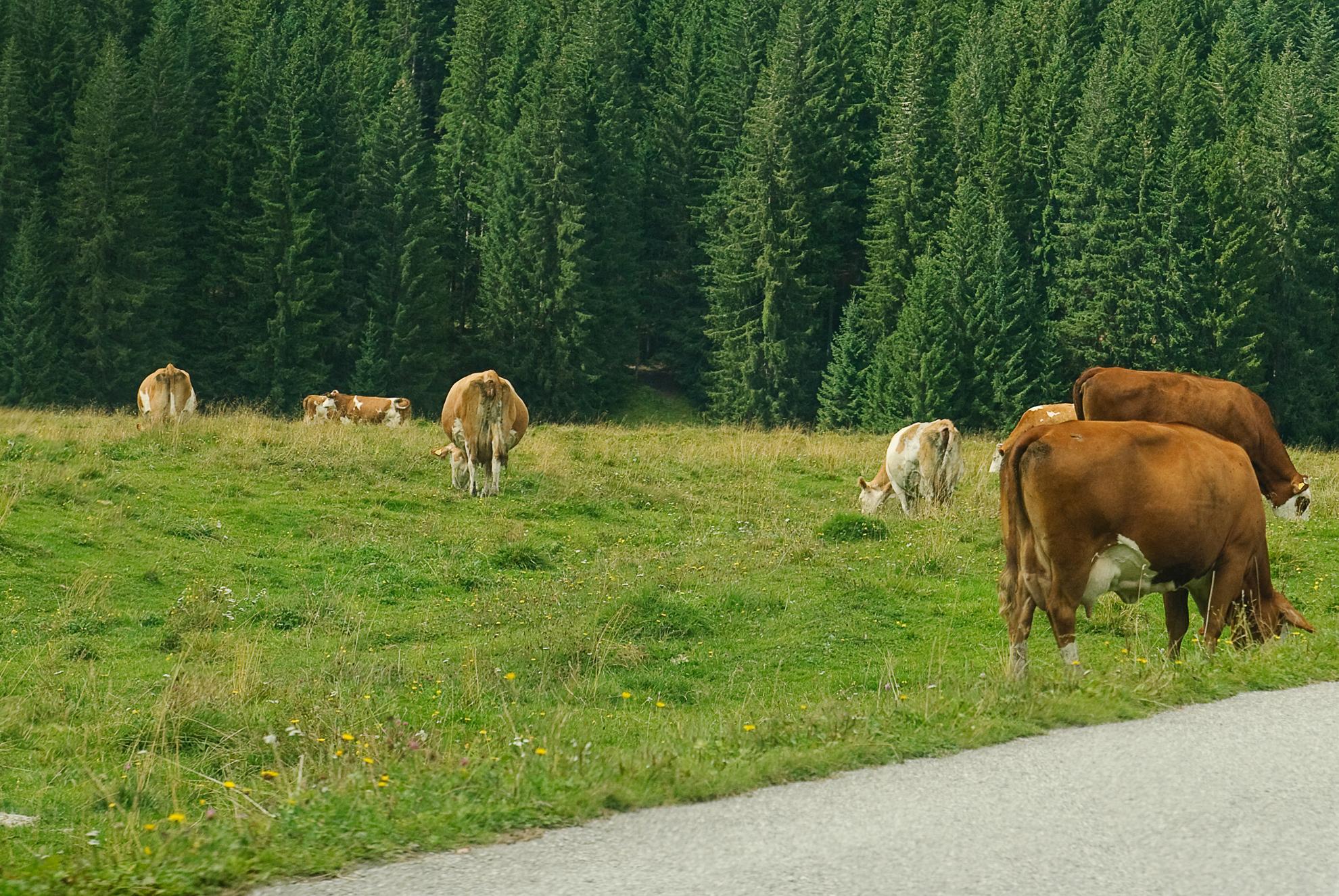 Krówki w Val di Visdende
