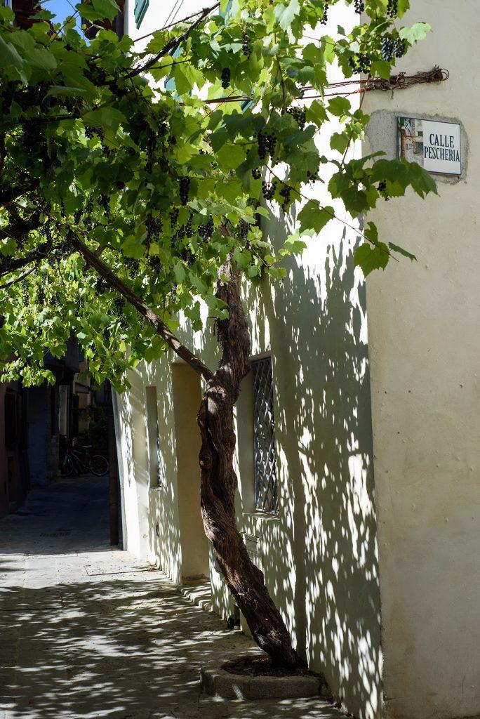 Centrum Grado - winorośle