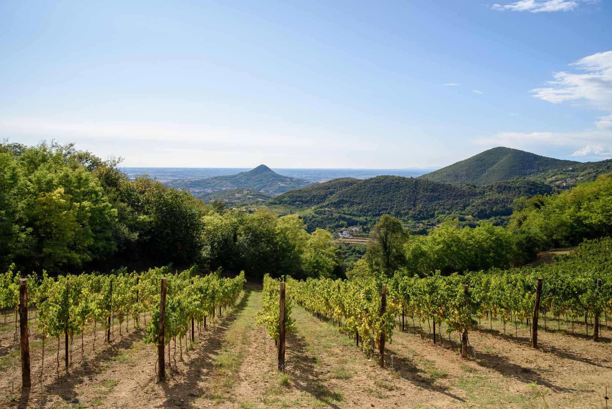 Winnice w Colli Euganei