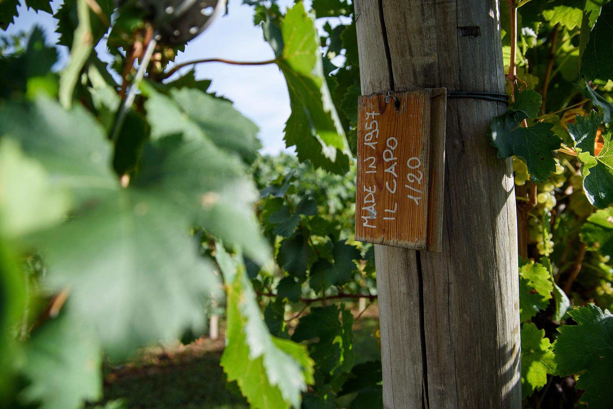 Winnice w Valdobbiadene i 60 letnie winogrona