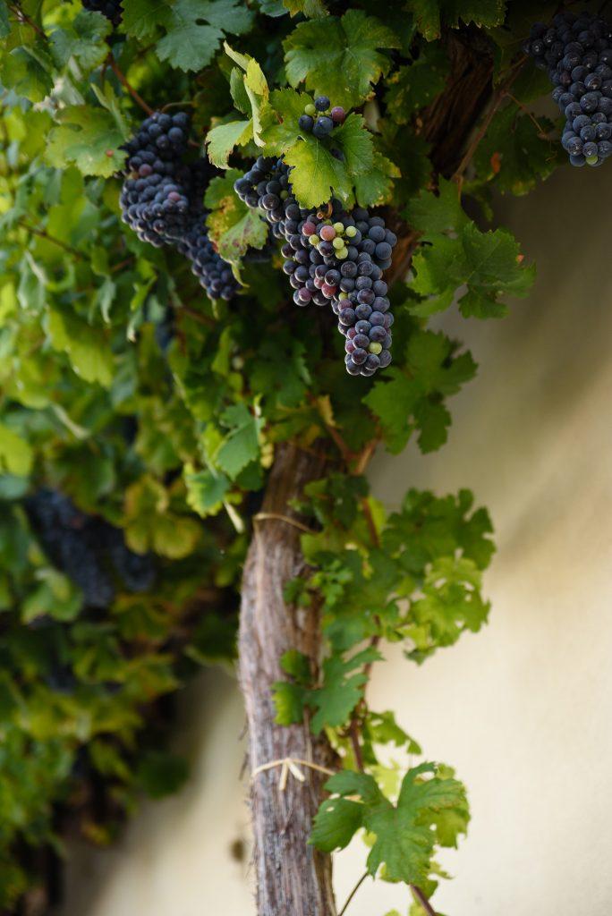 Z winogron Starej trty powstaje około 100 butelek wina