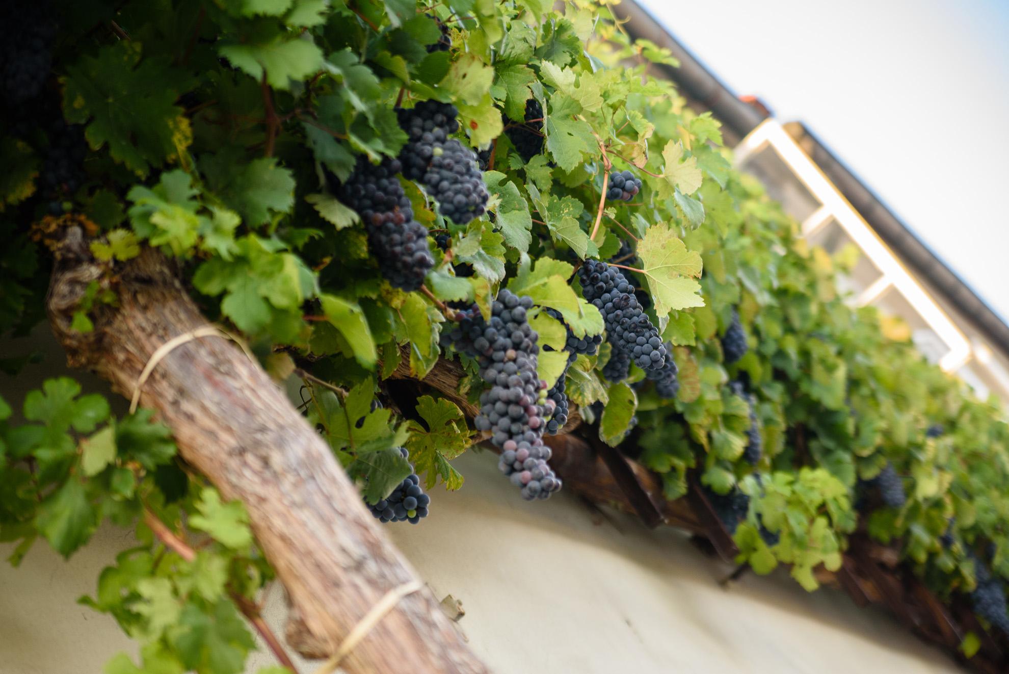 Stara trta co roku oddaje 35-50kg winogron