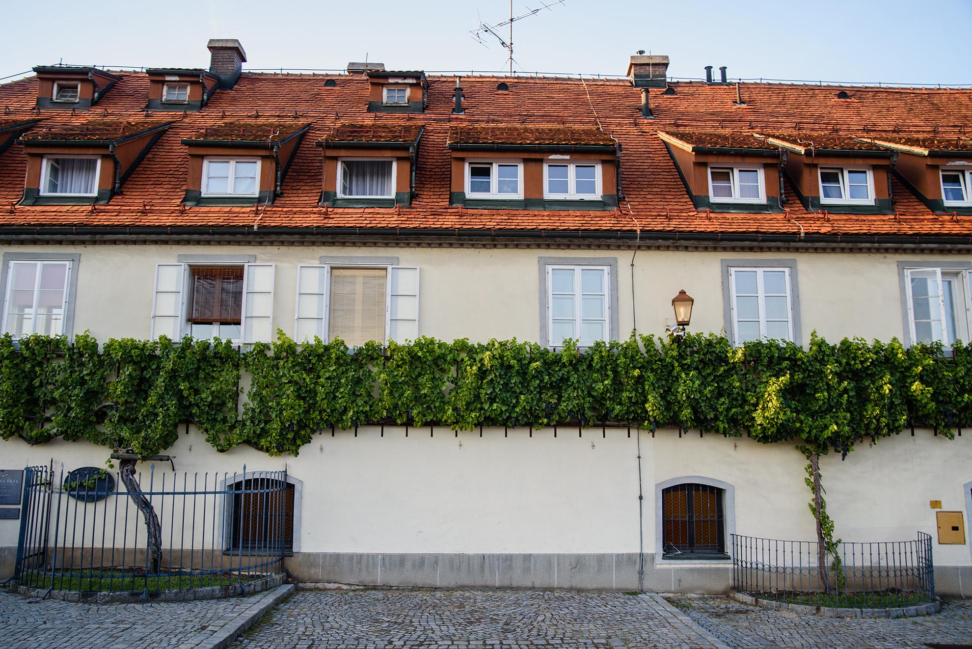 Najstarsza winorośl na świecie - 400 lat