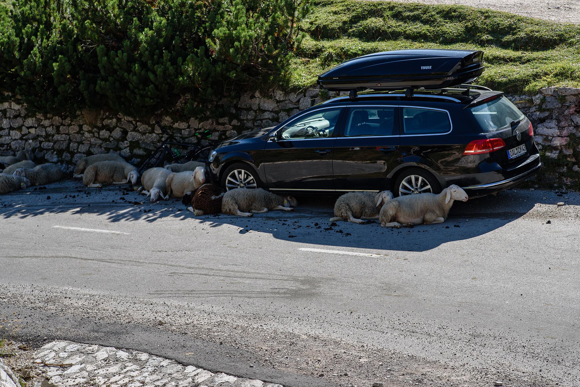 Kozy chronią sięw cieniu Passata - auta ratują środowisko naturalne!
