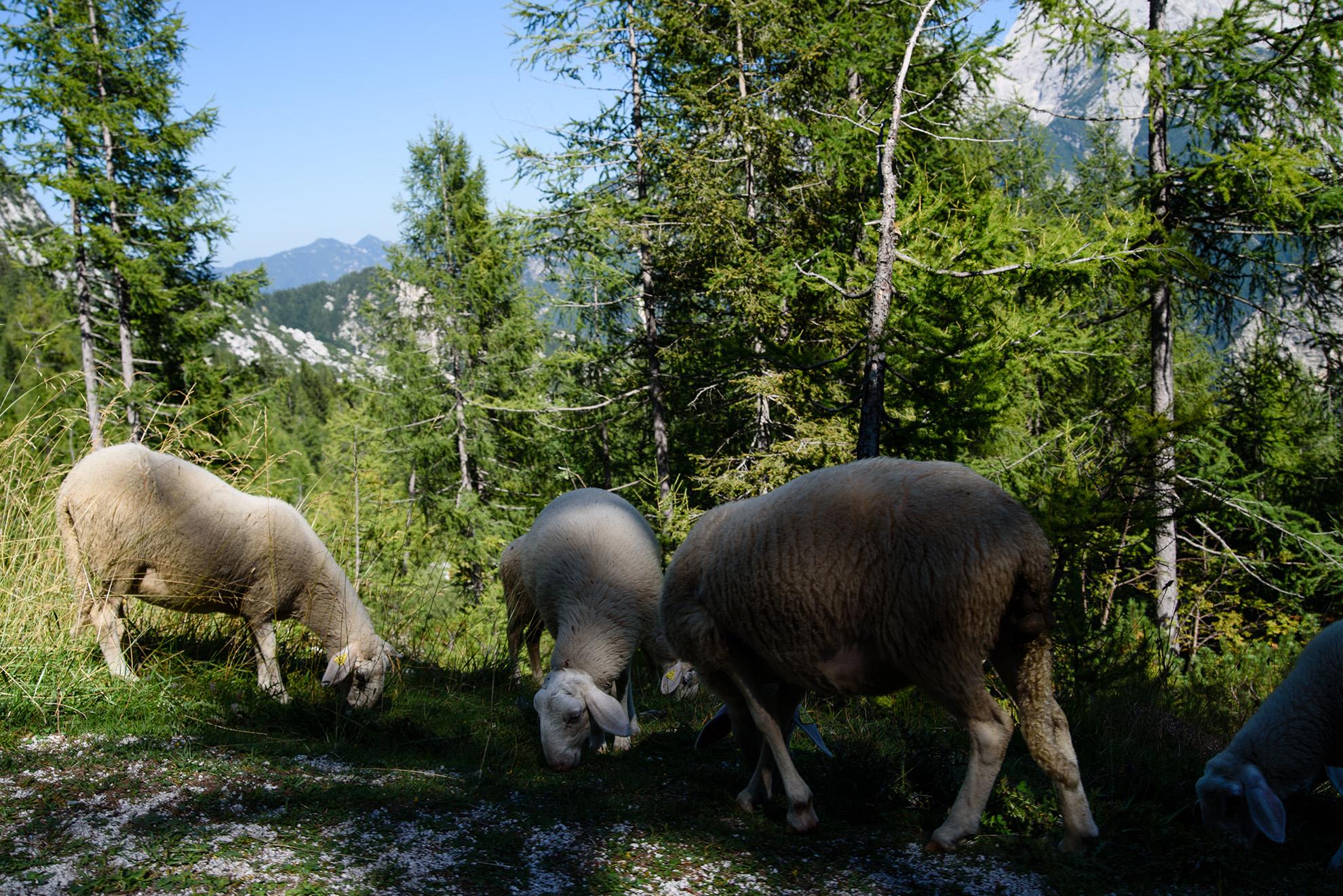 Równie górskie owieczki