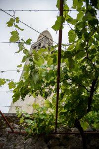 Štanjel - winogrona