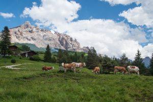 Krowy na Passo Valparola