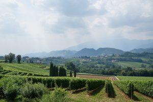Winogrona producenta prosecco Bepin De Eto