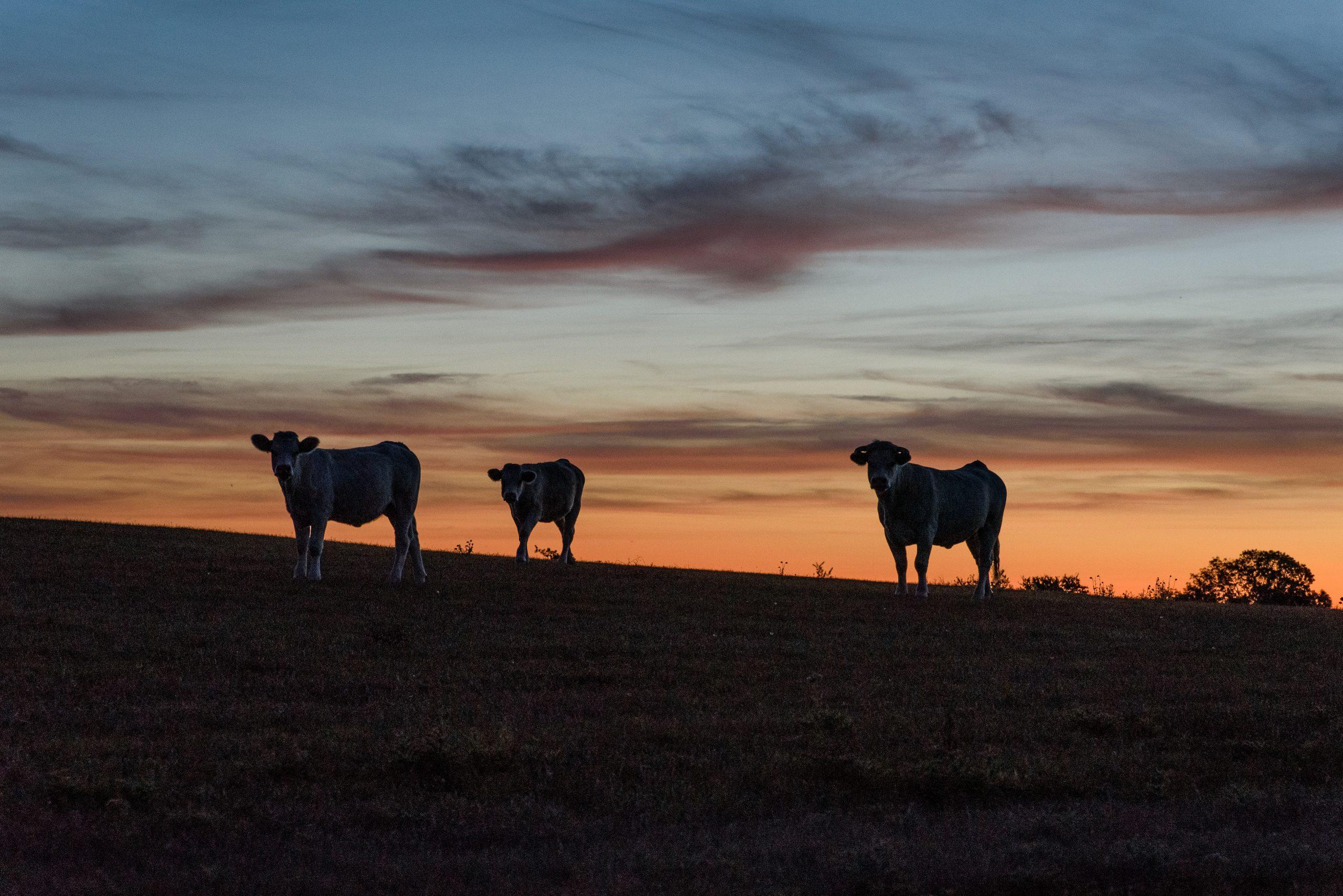 Krowy w Sait-Jean-le-Thomas